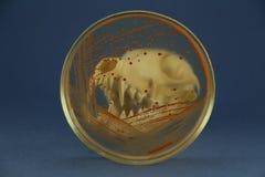 Zwierzęca czaszka patrzejąca przez Petri naczynia z czerwonymi bakteryjnymi koloniami Zdjęcie Royalty Free