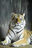 zwierzęca duży kota tygrysa przyroda Obrazy Royalty Free