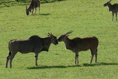 Zwierzęca Rodzinna miłość obrazy royalty free