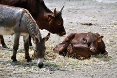 Zwierzęca społeczność cielęciny, krowa i osioł -, Obrazy Royalty Free