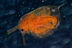 Zwierzęca wodna pchła obrazy royalty free