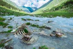 Zwierzęce kości w halnej rzece ekologia problem zanieczyszczenie środowisko naturalna selekcja w dzikiej naturze obraz royalty free