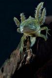 zwierzęcego czubatego larwy życia nowa traszki wiosna woda Obrazy Stock