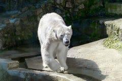 Zwierzęcego drapieżnika wielki biały niedźwiedź Obrazy Royalty Free