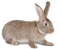 zwierzęcego gospodarstwa rolnego królik Zdjęcie Royalty Free