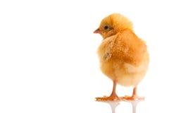 zwierzęcego kurczaka odosobniony mały Zdjęcia Royalty Free