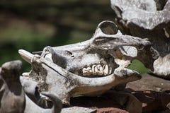 Zwierzęcej czaszki Wysuszeni Up kły i zęby fotografia royalty free