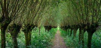 Zwierzęcia bezrogiego wierzbowego drzewa las wzdłuż tajemniczej ścieżki prowadzi w odległość w Rhoonse Grienden, Albrantswaard Ne fotografia royalty free