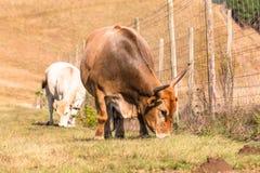 Zwierzęcia bydła łasowania zbliżenia Uprawiać ziemię Zdjęcie Stock