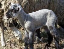 Zwierzęcia domowego nowonarodzony lambkin Fotografia Stock