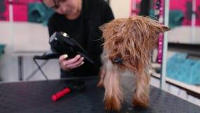 Zwierzęcia domowego Przygotowywać Groomer Szczotkuje Mokrego psa Z suszarką I Suszy zbiory wideo