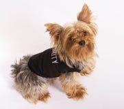 zwierzęcia domowego psi męski yorkie Obraz Royalty Free
