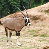 Zwierzęcia (Wodna samiec) stojak na łące Obraz Royalty Free