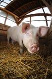Zwierzęcy gospodarstwo rolne obraz royalty free