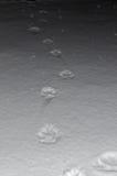 Zwierzęcy odciski stopy w śniegu zdjęcia royalty free