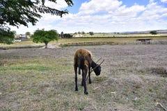 Zwierzęcy pasanie w wiosce fotografia stock