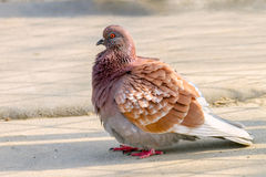 Zwierzęcy piękny ptak gołębi obsiadanie na ziemi Fotografia Royalty Free