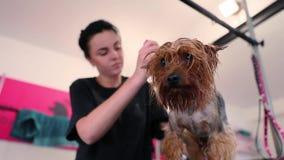 Zwierzęcy Przygotowywać salon Groomer Szczotkuje Mokrego Psiego włosy zbiory wideo