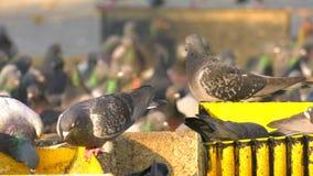 Zwierzęcy ptaków gołębi Jeść zdjęcie wideo