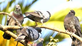 Zwierzęcy ptaków gołębie na drzewie zbiory wideo