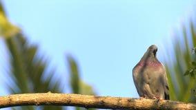Zwierzęcy ptaków gołębie na drzewie zdjęcie wideo