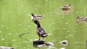 Zwierzęcy ptak nurkuje na zielonym jeziorze w deszczowym dniu zdjęcie wideo