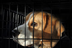 Zwierzęcy testowanie - Okaleczający Beagle pies w klatce Zdjęcie Stock