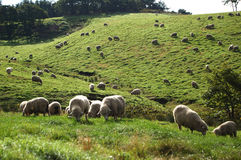 zwierzęcy trawy baranka krajobrazu bydlęcia łąki cakle Obrazy Royalty Free