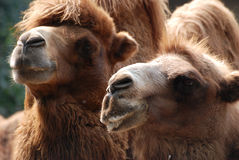 zwierzęcy wielbłądzi portret Obrazy Royalty Free