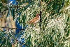 Zwierzęcy wróbel siedzi na gałąź dziki drzewo oliwne Obraz Royalty Free