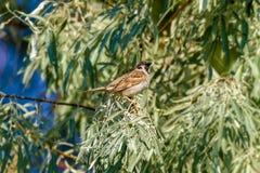 Zwierzęcy wróbel siedzi na gałąź dziki drzewo oliwne Zdjęcie Royalty Free