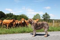 zwierzęcy zachowania byka ciekawości pies vs Zdjęcie Stock