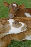 Zwierzęta (łydka) Fotografia Royalty Free