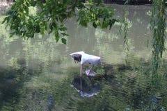 Zwierzęta żyje w zoo Odbicie pelikan w wodzie zdjęcia stock