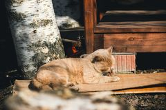 zwierzęta Czerwony tomcat liże jego łapę podczas gdy kłamający zdjęcia stock