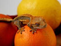Zwierzęta domowe - Rhacodactylus ciliatus gekonu obsiadanie na owoc układającej Zdjęcie Royalty Free