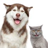 zwierzęta domowe szczęśliwi Husky psi i Brytyjski kot zdjęcia stock
