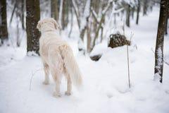 Zwierzęta domowe w naturze portret piękno pies piękny golden retriever pobyt w zima śnieżystym lesie zdjęcia royalty free