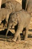 Zwierzęta: dziecko szczęśliwy mały słoń zdjęcie stock