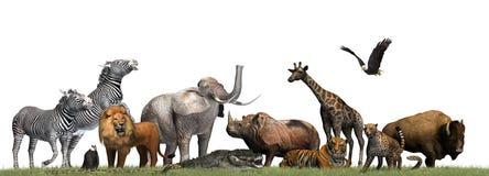 Zwierzęta Dziki - odizolowywający na białym tle Zdjęcie Stock