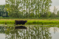 Zwierzęta Gospodarskie - Górski bydło Zdjęcie Royalty Free