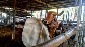 Zwierzęta gospodarskie, krowy i świnie w średniorolnej ` s stajence, zdjęcie stock