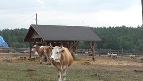 Zwierzęta gospodarskie: krowy i cakle zbiory