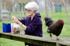 Zwierzęta Gospodarskie - kurczak Fotografia Royalty Free