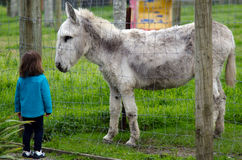 Zwierzęta Gospodarskie - osioł Zdjęcia Stock