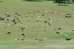 Zwierzęta i poganiacz bydła Obrazy Royalty Free
