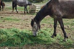 Zwierzęta, konie pasają w łące w górach, bydlę Zdjęcia Stock