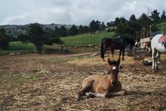 Zwierzęta, konie pasają w łące w górach, natura, bydlę Obraz Stock
