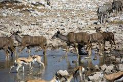 Zwierzęta które piją w Namibia Zdjęcie Stock