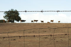 Zwierzęta na gospodarstwie rolnym otaczającym drut kolczasty Zdjęcia Royalty Free
